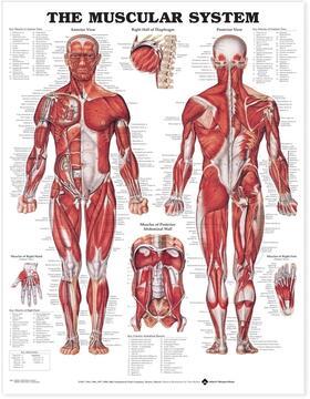 The Muscular System Anatomical Chart | Sonstiges | sack.de