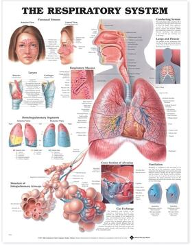 The Respiratory System Anatomical Chart | Sonstiges | sack.de